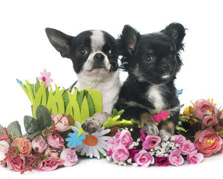 short hair dog: young little chihuahuas in front of white background