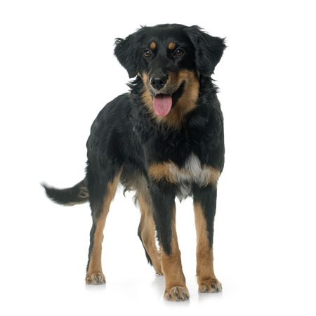 black dog: young black hovawart in front of white background Stock Photo