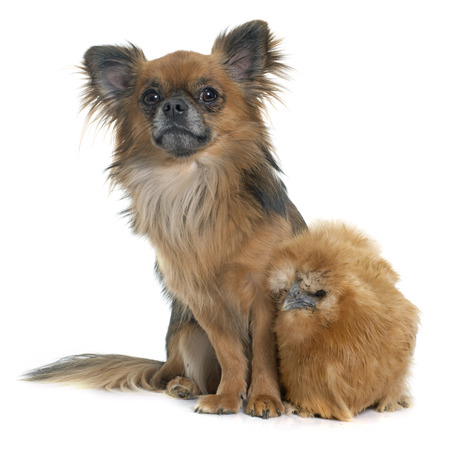 long hair chihuahua: chicken and chihuahua in front of white background Stock Photo