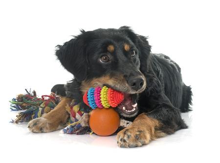 juguete: jugando hovawart negro delante de fondo blanco