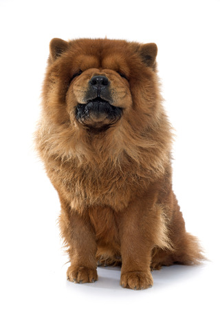 dog bite: growling chow dog in front of white background