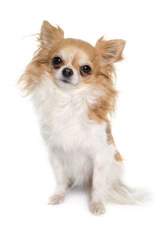 animal hair: long hair chihuahua in front of white background