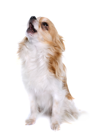 long hair chihuahua: long hair chihuahua howling  in front of white background Stock Photo