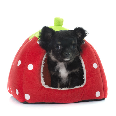 long hair chihuahua: young little chihuahua in dog bed in front of white background