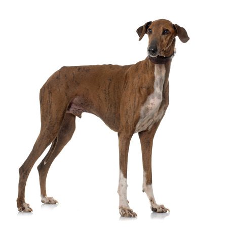 male animal: brown azawakh hound in front of white background