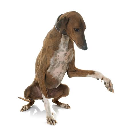 short hair dog: brown azawakh hound in front of white background