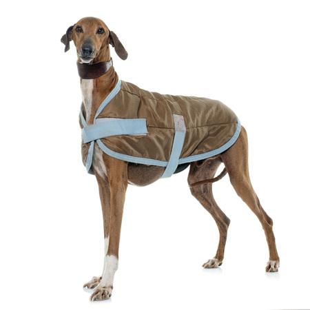 dressed azawakh hound in front of white background Stock Photo
