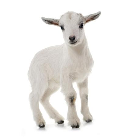 bebes lindos: blanco joven cabra delante de fondo blanco