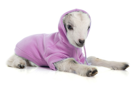 cabra joven vestida en frente de fondo blanco