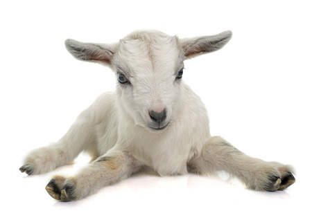 white young goat in front of white background
