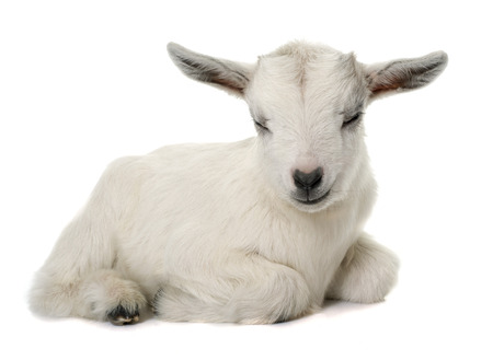 baby isolated: white young goat in front of white background