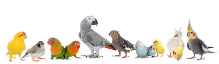 lovebirds: common pet parakeet, African Grey Parrot, lovebirds, Zebra finch and Cockatie lin front of white background