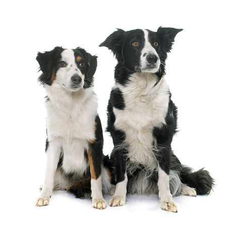 miniature collie: border collie and miniature australian shepherd in studio Stock Photo