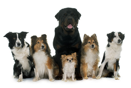 miniature collie: six beautiful dogs in front of white background
