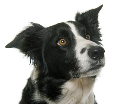 white dog: black and white border collie in front of white background