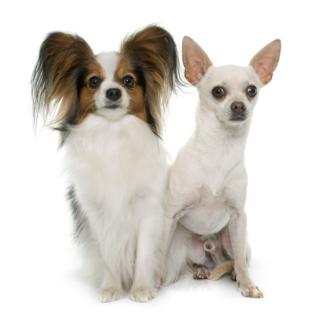 long hair chihuahua: papillon dog and chihuahua in front of white background
