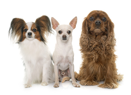 cavalier: papillon dog, chihuahua and cavalier king charles in front of white background