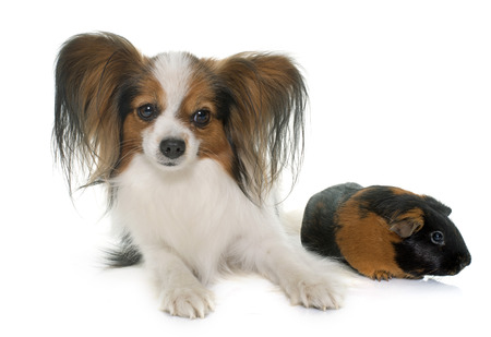 guinea pig: papillon dog and guinea pig in front of white background