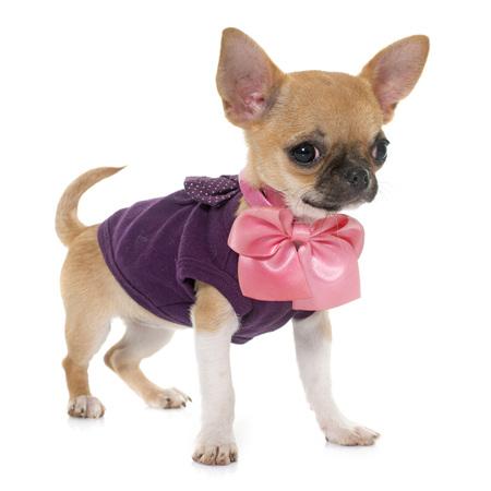 perros graciosos: vestido perrito chihuahua de pelo corto delante de fondo blanco