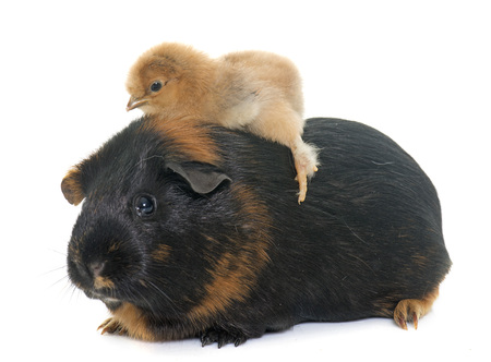 guinea pig: guinea pig and chick in front of white background