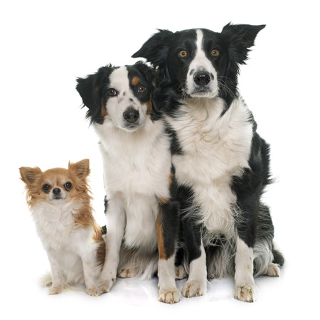 miniature collie: border collie, australian shepherd and chihuahua in front of white background