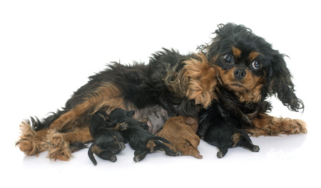 cavalier: mother cavalier king charles and puppies in studio