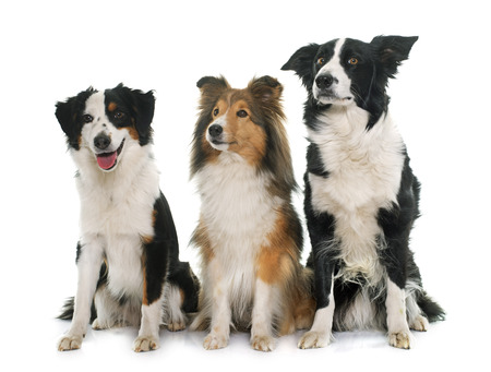miniature collie: three young sheepdogs in front of white background