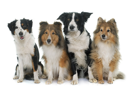 miniature collie: four beautiful dogs in front of white background