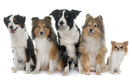 miniature collie: five beautiful dogs in front of white background Stock Photo