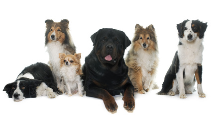 miniature: six beautiful dogs in front of white background