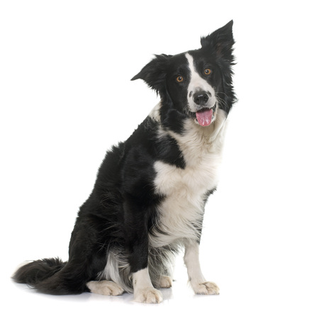 sheepdogs: black and white border collie in front of white background
