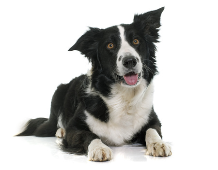 border collie puppy: black and white border collie in front of white background