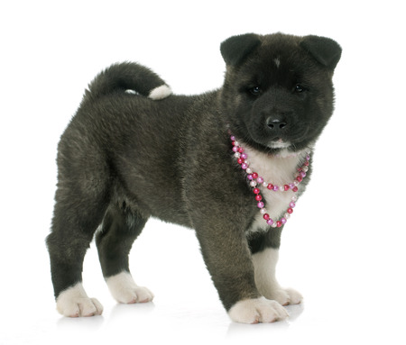 akita: puppy american akita in front of white background Stock Photo