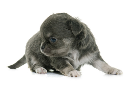 longhair: puppy longhair chihuahua in front of white background Stock Photo