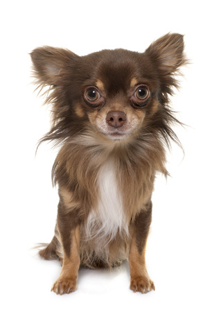 longhair: young longhair chihuahua in front of white background Stock Photo