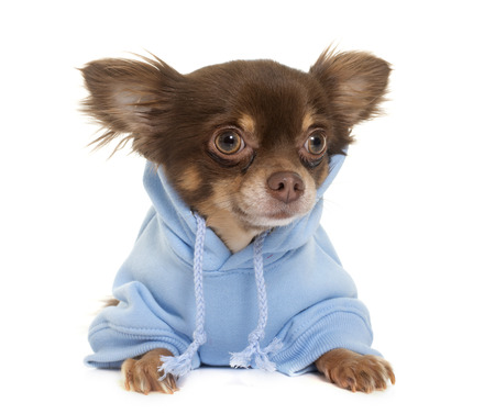 dog isolated: dressed longhair chihuahua in front of white background