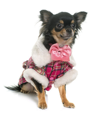 longhair: dressed longhair chihuahua in front of white background