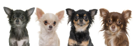 longhair: young longhair chihuahuas in front of white background