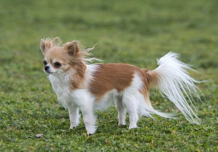long hair chihuahua: chihuahua long hair staying in the wind