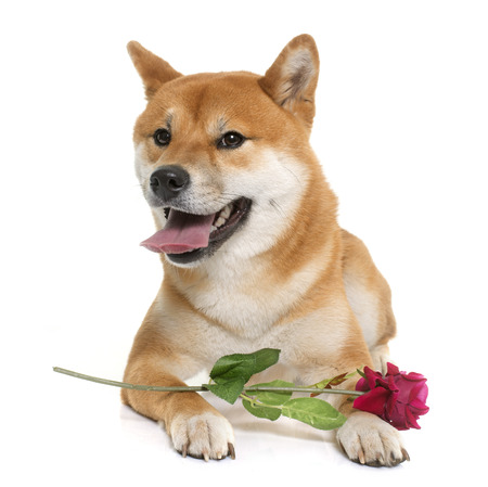 young shiba inu and flower in front of white background