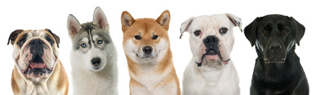 five purebred dogs in front of white background
