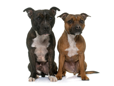 staffordshire: two staffordshire bull terrier in front of white background Stock Photo