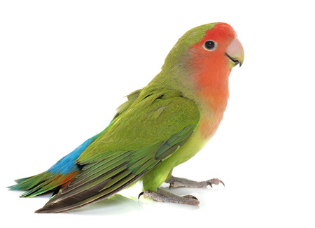 Peach-faced Lovebird in front of white background Stock Photo