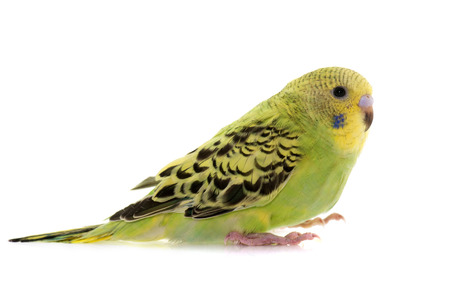 budgie: young budgerigar in front of white background Stock Photo
