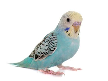 Jeune perruche en face de fond blanc Banque d'images - 53333800