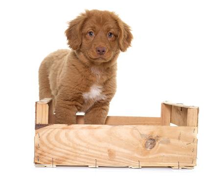 nova scotia: puppy Nova Scotia Duck Tolling Retriever in studio