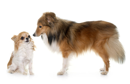 miniature collie: shetland dog and chihuahua in front of white backrgound