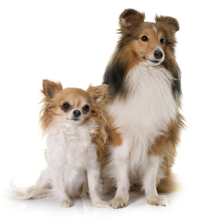 animal fur: shetland dog and chihuahua in front of white backrgound