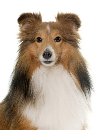 miniature collie: shetland dog in front of white backrgound