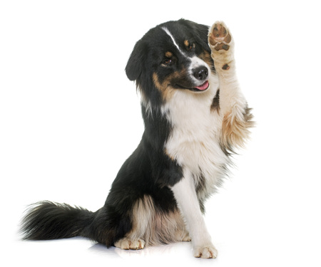 tricolor australian shepherd in front of white background